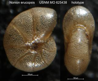 To NMNH Paleobiology Collection (Nonion erucopsis USNM MO 625438 holotype)