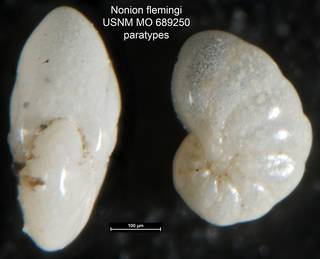To NMNH Paleobiology Collection (Nonion flemingi USNM MO 689250 paratypes)