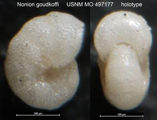 To NMNH Paleobiology Collection (Nonion goudkoffi USNM MO 497177 holotype)