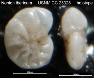 To NMNH Paleobiology Collection (Nonion ibericum USNM CC 23328 holotype)