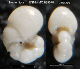 To NMNH Paleobiology Collection (Nonion iota USNM MO 689078 paratype)