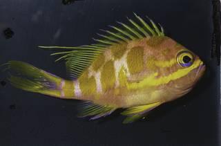 To NMNH Extant Collection (Odontanthias borbonius FIN033929 Slide 35 mm)