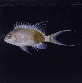To NMNH Extant Collection (Odontanthias elizabethae FIN033931 Slide 120 mm)