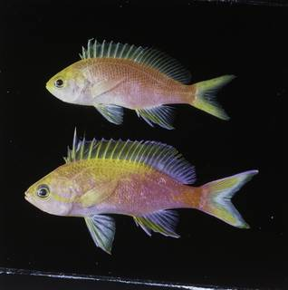 To NMNH Extant Collection (Pseudanthias flavicauda FIN034071 Slide 120 mm)