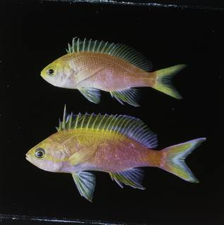 To NMNH Extant Collection (Pseudanthias flavicauda FIN034071B Slide 120 mm)