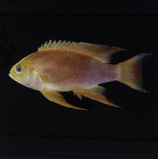 To NMNH Extant Collection (Pseudanthias hawaiiensis FIN034075 Slide 120 mm)