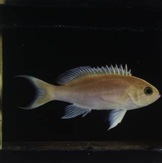 To NMNH Extant Collection (Pseudanthias lunulatus FIN034100 Slide 120 mm)