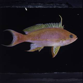 To NMNH Extant Collection (Pseudanthias pulcherrimus FIN034134 Slide 120 mm)