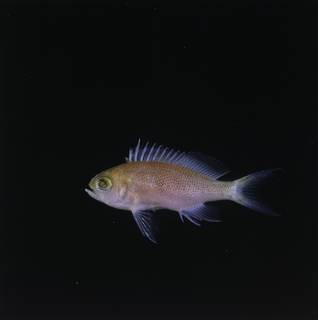 To NMNH Extant Collection (Pseudanthias randalli FIN034137 Slide 120 mm)