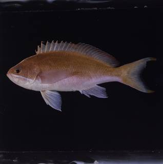 To NMNH Extant Collection (Pseudanthias taeniatus FIN034173 Slide 120 mm)