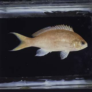 To NMNH Extant Collection (Pseudanthias thompsoni FIN034179 Slide 120 mm)