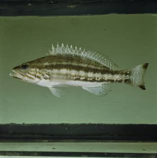 To NMNH Extant Collection (Serranus cabrilla FIN034223 Slide 120 mm)