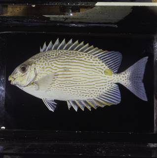 To NMNH Extant Collection (Siganus lineatus FIN034251 Slide 120 mm)