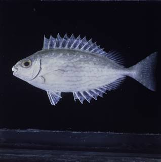 To NMNH Extant Collection (Siganus rivulatus FIN034263 Slide 120 mm)
