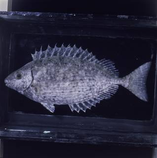 To NMNH Extant Collection (Siganus rivulatus FIN034264 Slide 120 mm)