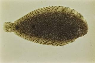 To NMNH Extant Collection (Heteromycteris hartzfeldii FIN034297 Slide 35 mm)