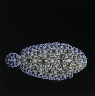 To NMNH Extant Collection (Aseraggodes bahamondei FIN034299 Slide 120 mm)