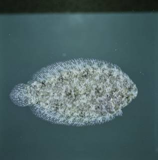 To NMNH Extant Collection (Aseraggodes therese FIN034311 Slide 120 mm)