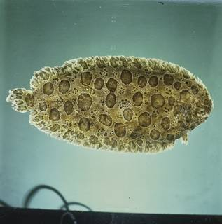 To NMNH Extant Collection (Pardachirus balius FIN034318 Slide 120 mm)