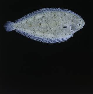 To NMNH Extant Collection (Solea elongata FIN034329B Slide 120 mm)