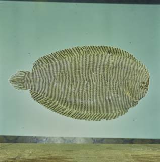 To NMNH Extant Collection (Synclidopus macleayanus FIN034337 Slide 120 mm)