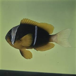 To NMNH Extant Collection (Amphiprion allardi FIN032176 Slide 120 mm)