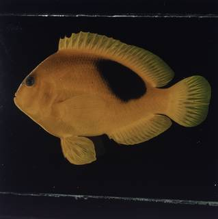 To NMNH Extant Collection (Amphiprion ephippium FIN032195 Slide 120 mm)