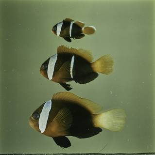 To NMNH Extant Collection (Amphiprion melanopus FIN032203 Slide 120 mm)