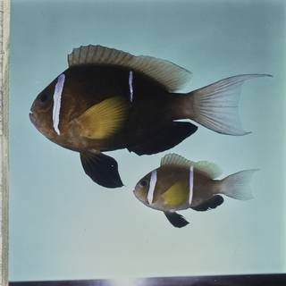 To NMNH Extant Collection (Amphiprion omanensis FIN032218 Slide 120 mm)