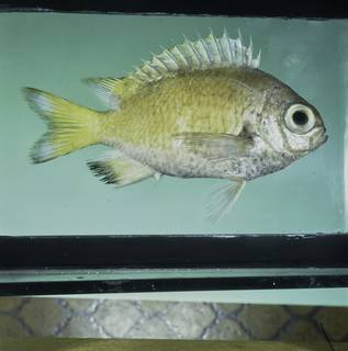 To NMNH Extant Collection (Chromis abyssicola FIN032240 Slide 120 mm)