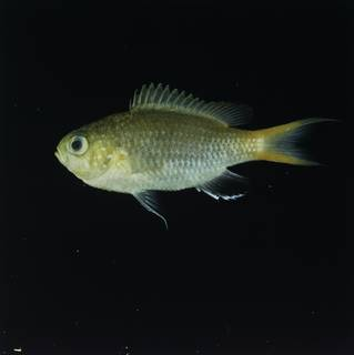 To NMNH Extant Collection (Chromis acares FIN032242 Slide 120 mm)