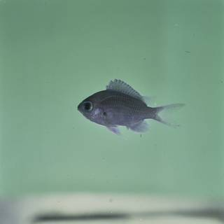 To NMNH Extant Collection (Chromis albomaculata FIN032248 Slide 120 mm)