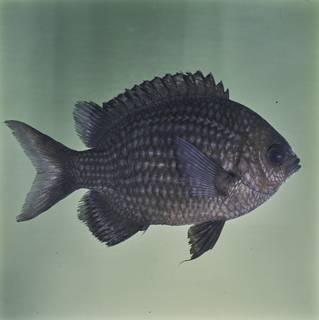 To NMNH Extant Collection (Chromis albomaculata FIN032249 Slide 120 mm)