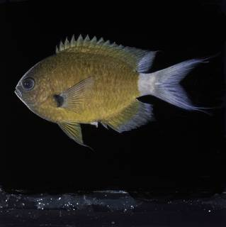 To NMNH Extant Collection (Chromis alleni FIN032250A Slide 120 mm)