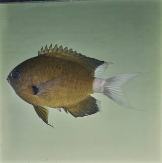 To NMNH Extant Collection (Chromis alleni FIN032250B Slide 120 mm)