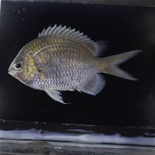 To NMNH Extant Collection (Chromis alpha FIN032251 Slide 120 mm)