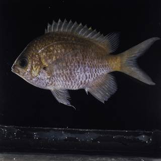 To NMNH Extant Collection (Chromis alpha FIN032252 Slide 120 mm)