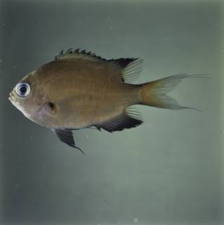 To NMNH Extant Collection (Chromis atripes FIN032262 Slide 120 mm)