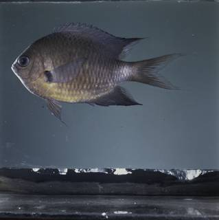 To NMNH Extant Collection (Chromis caudalis FIN032266B Slide 120 mm)