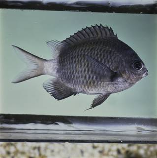 To NMNH Extant Collection (Chromis chrysura FIN032267 Slide 120 mm)