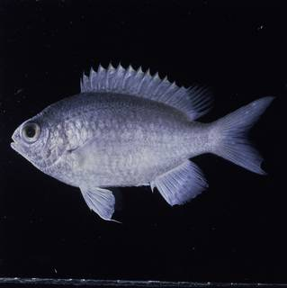 To NMNH Extant Collection (Chromis cinerascens FIN032271 Slide 120 mm)