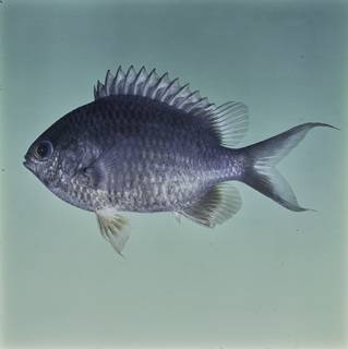 To NMNH Extant Collection (Chromis cinerascens FIN032272 Slide 120 mm)