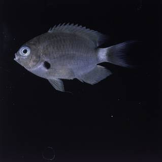To NMNH Extant Collection (Chromis delta FIN032277 Slide 120 mm)