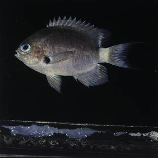 To NMNH Extant Collection (Chromis delta FIN032278 Slide 120 mm)