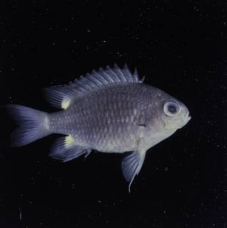 To NMNH Extant Collection (Chromis elerae FIN032282 Slide 120 mm)