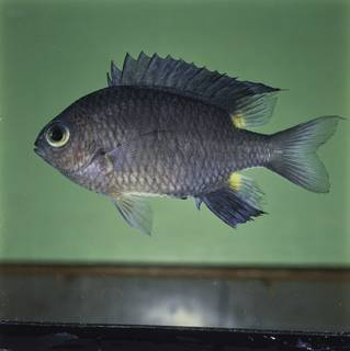 To NMNH Extant Collection (Chromis elerae FIN032283 Slide 120 mm)