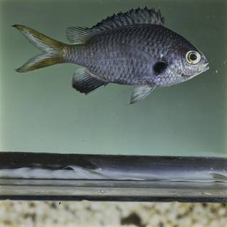 To NMNH Extant Collection (Chromis flavomaculata FIN032289 Slide 120 mm)
