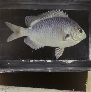 To NMNH Extant Collection (Chromis hypsilepis FIN032300 Slide 120 mm)