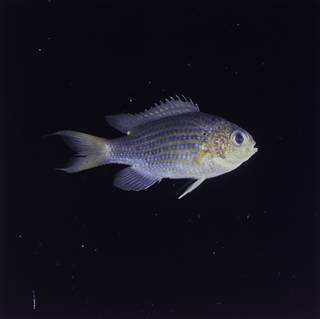 To NMNH Extant Collection (Chromis lineata FIN032306 Slide 120 mm)