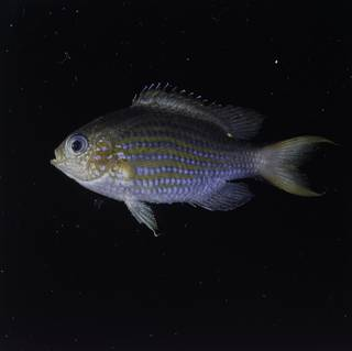 To NMNH Extant Collection (Chromis lineata FIN032307 Slide 120 mm)